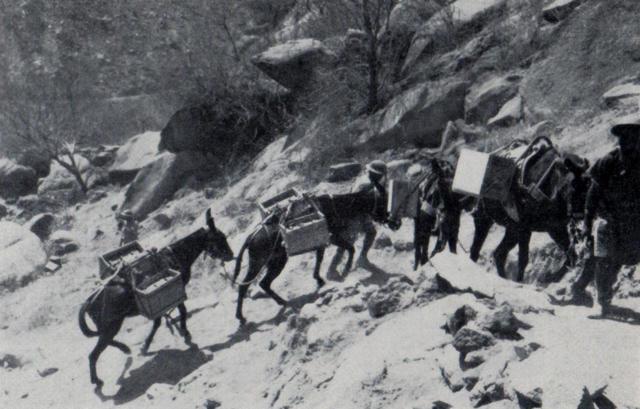 Mules at Keren